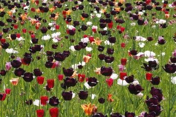 Tulpiu rusys lietuvoje