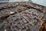 Ribojama   ryklių  plaukmenų  prekyba