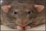 Į Ust Lugos uostą plūstelėjo  žiurkės